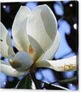 Magnolia In Blue Acrylic Print