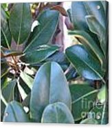 Magnolia Leaves 1 Acrylic Print