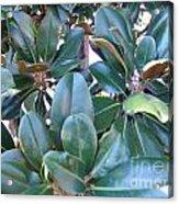 Magnolia Leaves 2 Acrylic Print