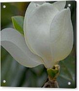Magnolia Opening Acrylic Print