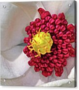 Magnolia Sieboldiana Closeup Acrylic Print