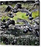 Magpie Geese In Flight Mcminn Lagoon Acrylic Print
