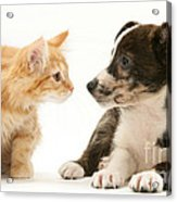 Maine Coon Kitten And Mongrel Dog Acrylic Print