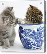 Maine Coon Kittens Acrylic Print