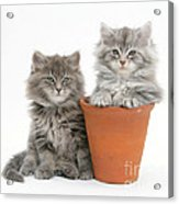 Maine Coon Kitttens Acrylic Print