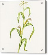 Maize (zea Mays) Acrylic Print by Lizzie Harper