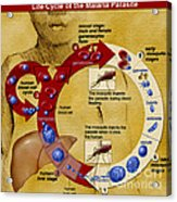 Malaria Parasite Life Cycle Acrylic Print by Science Source
