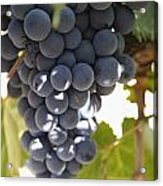 Malbec Grapes On The Vine Acrylic Print
