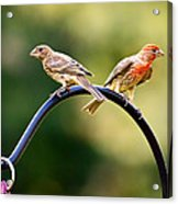 Male And Female House Finch Acrylic Print