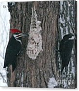 Male And Female Pileated Woodpeckers Acrylic Print