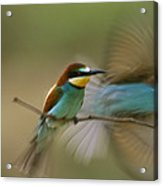Male Bee Eater Leaves Perch To Find Acrylic Print