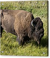 Male Bison Grazing  Acrylic Print
