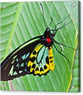 Male Cairns-birdwing Butterfly Acrylic Print