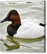 Male Canvasback Duck  Acrylic Print