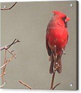 Male Cardinal On A Branch Acrylic Print