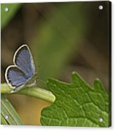 Male Eastern Tailed Blue Butterfly 3063 Acrylic Print