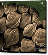 Male Fern Sporangia, Sem Acrylic Print