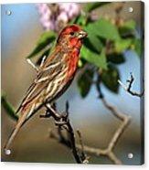 Male Finch Acrylic Print