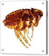 Male Flea, Light Micrograph Acrylic Print