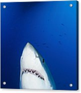 Male Great White Shark Showing Teeth Acrylic Print