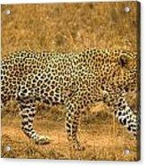 Male Leopard Acrylic Print