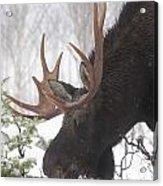Male Moose Grazing In Winter, Gaspesie Acrylic Print