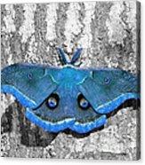 Male Moth Light Blue Acrylic Print