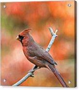 Male Northern Cardinal - D007810 Acrylic Print