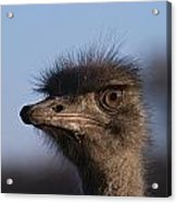 Male Ostrich Namibia Acrylic Print