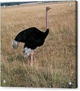 Male Ostrich With Eggs Acrylic Print