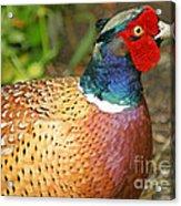 Male Pheasant Acrylic Print