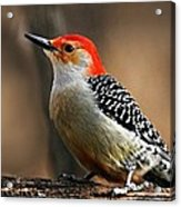 Male Red-bellied Woodpecker 4 Acrylic Print