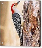 Male Red-bellied Woodpecker Acrylic Print