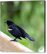 Male Red-winged Blackbird Acrylic Print