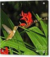 Male Rufous Hummingbird Acrylic Print