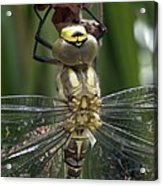 Male Southern Hawker Dragonfly Acrylic Print
