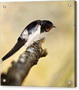 Male Swallow Acrylic Print