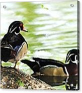 Male Wood Ducks Acrylic Print