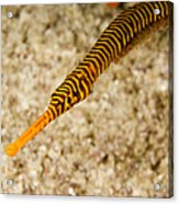 Male Yellow Banded Pipefish Carrying Acrylic Print