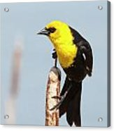 Male Yellow-headed Blackbird Acrylic Print