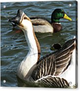 Mallard And Chinese Swan Goose - Anser Cygnoides - Featured In Wildlife Group Acrylic Print
