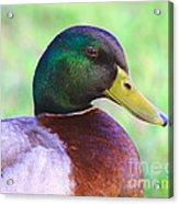 Mallard Drake In Shade Acrylic Print