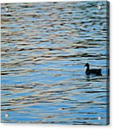 Mallard Duck And Blue Water Acrylic Print by Marianne Campolongo