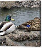 Mallard Duck Couple Acrylic Print