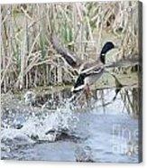Mallard Duck Flying Acrylic Print