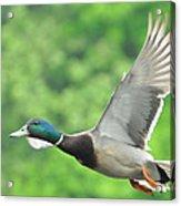 Mallard Duck In Flight Acrylic Print