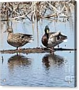 Mallard Ducks Sitting On A Sandbar  Acrylic Print