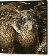 Mallard Ducks Underwater Acrylic Print