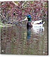 Mallard On A Pond Acrylic Print