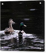 Mallards - Like Walking In The Rain Acrylic Print